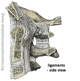 Cervical Ligaments - Side View
